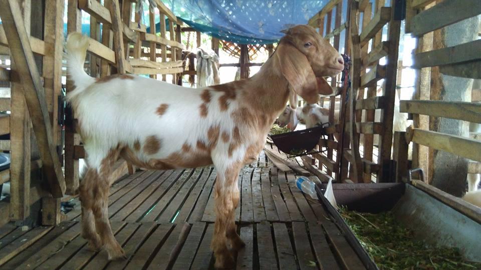 goat, boer